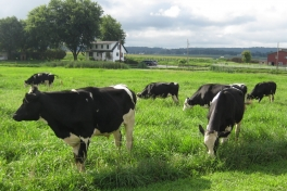 Cows grazing in pasture between Farmhouse and LWH